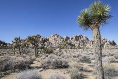 Joshua drzewa park narodowy Obrazy Royalty Free