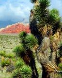 Joshua drzewa rewolucjonistki skały jar Nevada Zdjęcia Royalty Free