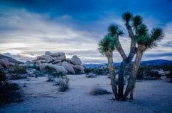 Joshua drzewa roślina Kalifornia - Joshua drzewa park narodowy - Obraz Royalty Free