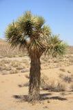 Joshua drzewo Zdjęcia Stock