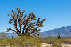 Joshua drzewo Zdjęcie Stock