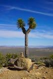 Joshua drzewo Obrazy Stock
