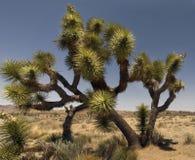 joshua drzewo Zdjęcie Royalty Free