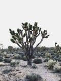 Joshua drzewo Zdjęcia Royalty Free