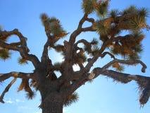 Joshua drzewo Obrazy Royalty Free