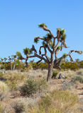 Joshua drzewo (Jukki brevifolia) obrazy stock