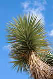 Joshua drzewo (Jukki brevifolia) obraz stock