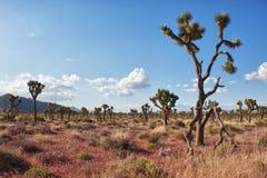 Joshua drzewo (Jukki brevifolia) zdjęcia stock