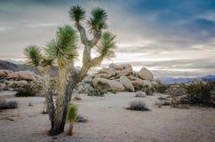Joshua drzewo Kalifornia - Joshua drzewa park narodowy - Fotografia Stock