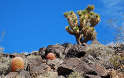 Joshua drzewo na Arden szczycie blisko Lasu Vegaas, Nevada (jukki brevifolia) obrazy stock
