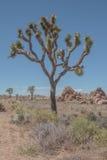 Joshua drzewo NP Fotografia Royalty Free
