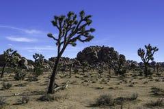 Joshua drzewo w Joshua drzewa parku narodowym przy Chowaną doliną Fotografia Stock