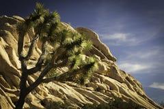 Joshua drzewo w Joshua drzewa parku narodowym przy Chowaną doliną Fotografia Royalty Free