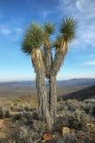 Joshua drzewo w Joshua drzewa park narodowy Zdjęcie Stock