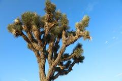 Joshua drzewo w Joshua drzewa park narodowy Fotografia Stock