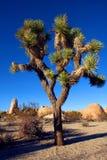 Joshua drzewo w Joshua drzewa parku narodowym, Kalifornia, usa Zdjęcia Royalty Free