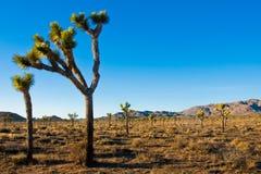 Joshua drzewo w Joshua drzewa parku narodowym, Kalifornia, usa Obrazy Stock