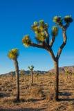 Joshua drzewo w Joshua drzewa parku narodowym, Kalifornia, usa Fotografia Stock