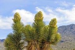 Joshua drzewo w kwiacie w pustyni Zdjęcia Royalty Free