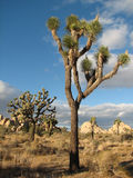 Joshua Park tree Stock Photos