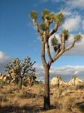 Joshua Park tree. Rare tree with a unique shape in the Joshua National Park Stock Photos