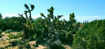 joshua pustynny wysoki drzewo obrazy royalty free