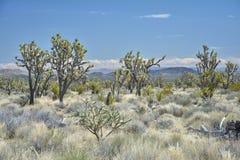Joshua träd i Mojave arkivfoto