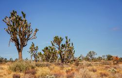 Joshua träd i Mojavenationalparken i Nevada Arkivfoto