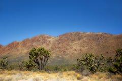 Joshua träd i Mojavenationalparken i Nevada Fotografering för Bildbyråer