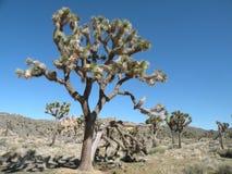 Free Joshua Tree Stock Photography - 10685142