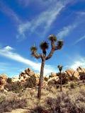 Joshua Tree Stock Photography