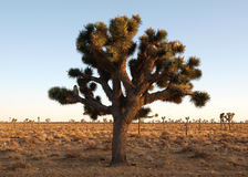 The Joshua Tree. Giant, old Joshua Tree in a California's Mojave Desert National Park Royalty Free Stock Images