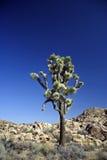 Joshua Tree. A lone Joshua Tree in California's Joshua Tree National Park Stock Images