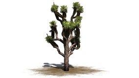 Joshua Tree illustration de vecteur