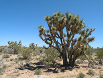 Joshua tree. Growing in the desert of Arizona Royalty Free Stock Photo