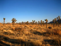 JOSHUA TREE. An afternoon scene in Joshua Tree National Park Royalty Free Stock Images
