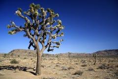 joshua tree Royaltyfri Fotografi
