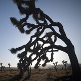 Joshua Tree Stock Images