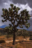 Joshua Tree. A Joshua Tree during an afternoon storm in the desert, as seen in Joshua Tree National Park, southern California, USA royalty free stock photography