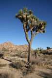 Joshua Tree. In Mojave Desert against deep blue sky Royalty Free Stock Photos