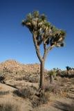 joshua tree Zdjęcia Royalty Free