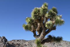 Joshua Tree Stock Photography