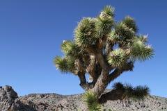 Joshua Tree. A Joshua tree in an Arizona desert Stock Photography