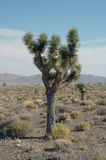 joshua tree Obraz Stock
