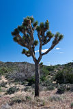 Joshua Tree. S in spring at the  National Park, California royalty free stock photos