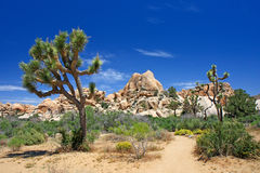 Joshua tree Royalty Free Stock Photo
