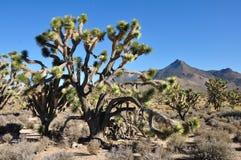 Joshua tree. The Joshua tree in Arisona desert Stock Photos