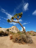 Joshua tree. Situated in desert with beautiful clear blue sky Stock Photo