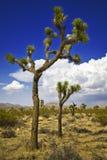 Joshua tree Royaltyfri Foto