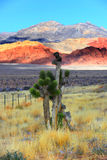 Joshua tree. In red rock canyon national park Royalty Free Stock Images